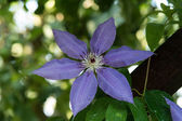 Flowering clematis — Stock Photo