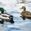 Ducks on the lake. — Stock Photo
