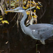 The Grey Heron (Ardea cinerea) — Stock Photo
