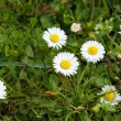 Blooming daisy in the grass. — Stock Photo
