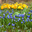 Flowering Muscari armeniacum. Focus on foreground. — Stockfoto