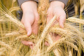 Hands holding wheat ears. — Stock Photo