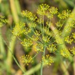 Flowering Dill. — Stock Photo