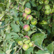 Unripe apples — Stock Photo #41499743