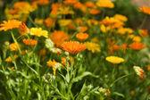 Flor de caléndula. — Foto de Stock