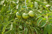 Green tomatoes in the greenhouse. — Stock Photo