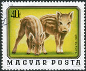 Postage stamp printed in Hungary, shows Wild boars — Stock Photo