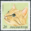 Postage stamp printed in Hungary shows a cat breed European shorthair (Celtic shorthair) — Stock Photo #42995393