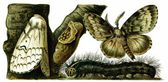 Insect pest Lymantria dispar — Stockvector
