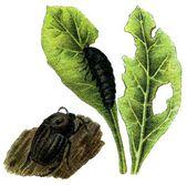 Plaga de insectos silphidae — Vector de stock