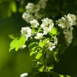 Spring flowering of trees. Close up. — Stock Photo #46284419