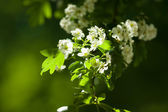 Spring flowering of trees. Close up. — Foto de Stock