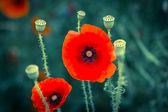 Poppies. — Stock Photo
