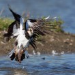 A lapwing is taking off — Stock Photo