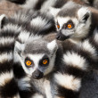 Ring-tailed lemurs (Lemur catta) huddle together — Stock Photo #15308853