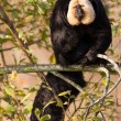 White-faced Saki (Pithecia pithecia) or also known as Golden-fac - Stock Photo