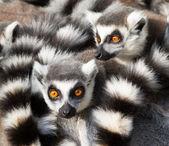 кошачие лемуры (лемуры катта) ютятся вместе — Стоковое фото