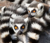 Ring-tailed lemurs (Lemur catta) huddle together — Stok fotoğraf