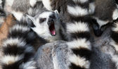 Ring-tailed lemurs (Lemur catta) huddle together — Stock Photo