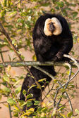 White-faced Saki (Pithecia pithecia) or also known as Golden-fac — Stock Photo