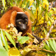 Red-bellied Lemur (Eulemur rubriventer) — Stock Photo #15330969