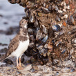 Ruddy Turnstone (Arenaria interpres) eating a clam - Stock Photo