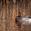 Male Wigeon or Eurasian Wigeon (Anas penelope, previously Mareca — Stock Photo