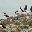 Stock Photo: A group of puffins