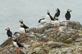 A group of puffins — Stock Photo