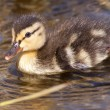 Duckling swimming in water — Stock Photo