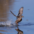 Mallard running on water — Stock Photo #22009223
