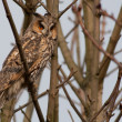 Long-eared Owl in a tree - Stok fotoraf