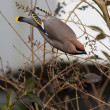 Bohemian Waxwing on a branch - Stok fotoraf