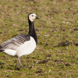 Barnacle Goose (Branta leucopsis) in a field - Stok fotoraf