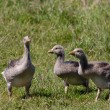 Three goslings in a field - Stockfoto