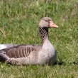 Greylag goose laying in a field — Stock Photo