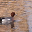 Male Wigeon or Eurasian Wigeon (Anas penelope, previously Mareca — Foto Stock