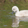 Cygnet is swimming in water — Stock Photo #22009287