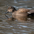 Stock Photo: Gadwall (Anas strepera) swimming