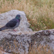 Rock pigeon on rock — Stock Photo #22009377