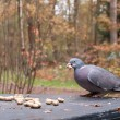 Wood pigeon on a table with a peanut in its beak — Stock Photo