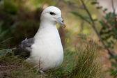 Fulmar on its nest — Stock Photo