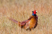 A common Pheasant in it's natural habitat — Stock Photo