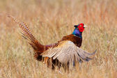 Pheasant flapping its wings — Stock Photo