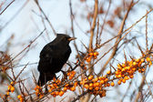 A blackbird on a branch with berries — Stock Photo