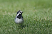 Wagtail in a field — Stock Photo