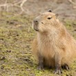 Capybara cub sitting — Stock Photo #24275949