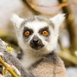 Ring-tailed lemurs (Lemur catta) eating - Stock Photo