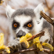 Ring-tailed lemurs (Lemur catta) eating — Stock Photo