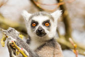 Ring-tailed lemurs (Lemur catta) eating — Stok fotoğraf